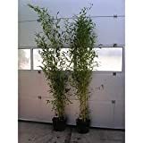 Phyllostachys aureosulcata'Spectabilis' Topf C5-5 Liter ca. 125-150 cm - Zick Zack Bambus