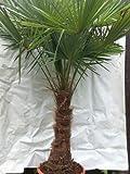 XXL Winterharte Palme XXL Stamm 40-50 cm - Trachycarpus fortunei'Chinesische Hanfpalme' 170-180 cm