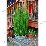 Shopmeeko Seeds: Best-Selling 60PCS Frische Moso Bambuspflanzen Sprout 99% Bambu Bambusa Lako Baum Plantas DIY Hausgarten-Dekoration Bonsai Housep