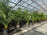 SONDERPREIS: Palme 100-120 cm, Phoenix canariensis, kanarische Dattelpalme