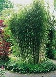 Horstbildender Bambus'Pingwu' (Fargesia robusta) - Winterharte Bambus-Pflanze ohne Ausläufer von Garten Schlüter