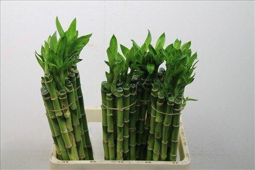 10 stück lucky bamboo Glücksbambus 50cm lang +/- ,gerade