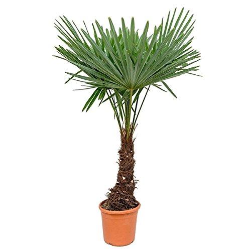XXL Hanfpalme 130-140 cm winterharte Palm Hanfpalme -18 °C / Stamm 20-30 cm