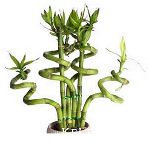 Shopmeeko Sematen: Silber!! Bonsai Bambuspflanzen im kleineren Blumentopf zur Reinigung von Dracaena Pflanzen, einfache Pflanze für zu Hause & amp; Garten, 100 Stück pro Packung, 212