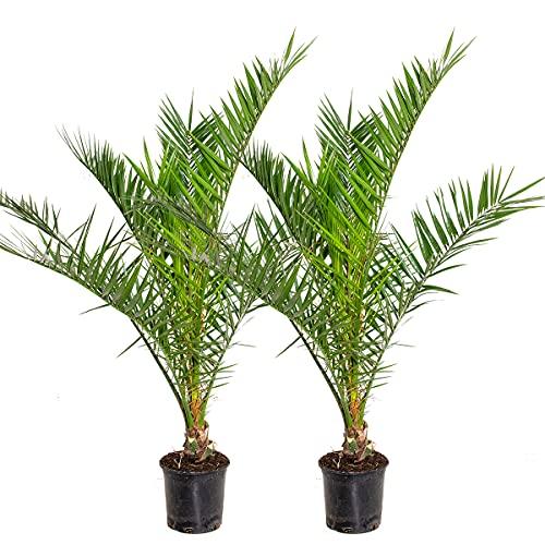 Phoenix 'Canariensis'   Kanarische Dattelpalme pro 2 Stück - Freilandpflanze im Aufzuchttopf ⌀19 cm - ↕80-90 cm