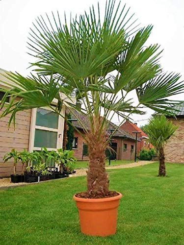 Seltene Palmen Kreuzung Trachycarpus Fortunei/Wagnerianus bis 180 cm. Frosthart bis - 18 Grad Celsius