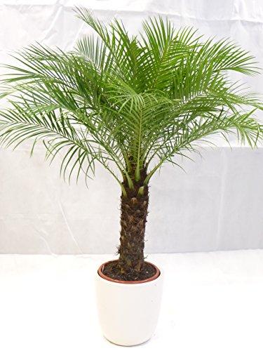 [Palmenlager] - Phoenix roebelenii 150 cm - dicker Stamm 40 cm, Zwergdattelpalme // Zimmerpalme Zimmerpflanze