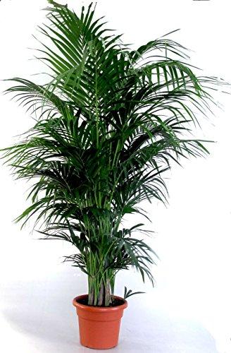 Die schönste Zimmerpalme der Welt ! Howea Forsteriana'Kentia Palme' Anspruchslos von jedermann zu pflegen 1 Pflanze 110-130 cm.