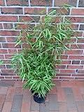 3 Stück Bambus, Fargesia Rufa, Höhe: 90-100 cm, winterhart und sonnenfest