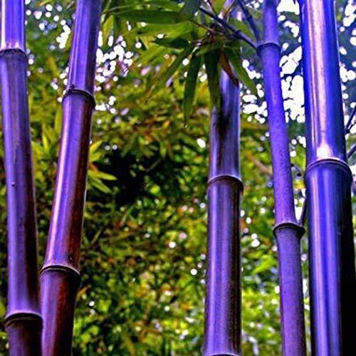Anitra Perkins - 100 stücke Bunte Bambus Samen China Moso Bambus Pflanzen Samen Saatgut Zierpflanzen winterharte bunte Samen für Ihre Garten (lila)