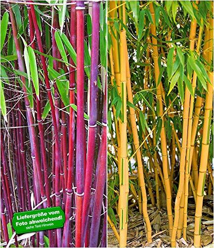 BALDUR-Garten Bambus-Raritäten Kollektion, 2 Pflanzen Roter Bambus Chinese Wonder Fargesia jiuzhaigou No.1 und Goldener Peking Bambus Phyllostachys aureosulcata aureocaulis