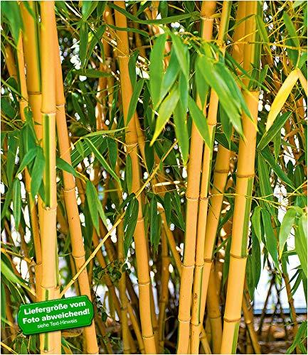 BALDUR-Garten Goldener Peking Bambus, 1 Pflanze Phyllostachys aureosulcata aureocaulis winterhart und immergrün golden gefurchte Bambuspflanze