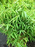 Bambus China Rohrgras Fargesia murielae Jumbo 80 cm hoch im 5 Liter Pflanzcontainer