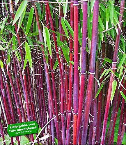 BALDUR-Garten Roter Bambus'Chinese Wonder' winterhart, 1 Pflanze Fargesia jiuzhaigou No.1 bildet keine Wurzelausläufer, schnell wachsend