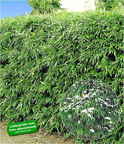 BALDUR-Garten Winterharte Bambus-Hecke, 10 Pflanzen, Fargesia murielae Simba