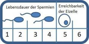 Kinderwunsch Lebensdauer Sperma